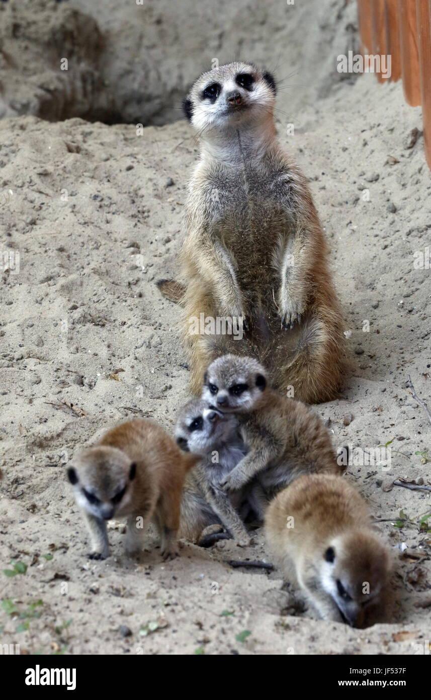 ROSTOV-ON-DON, RUSSIA – JUNE 28, 2017: Meerkats at the Rostov-on-Don Zoo. Valery Matytsin/TASS - Stock Image