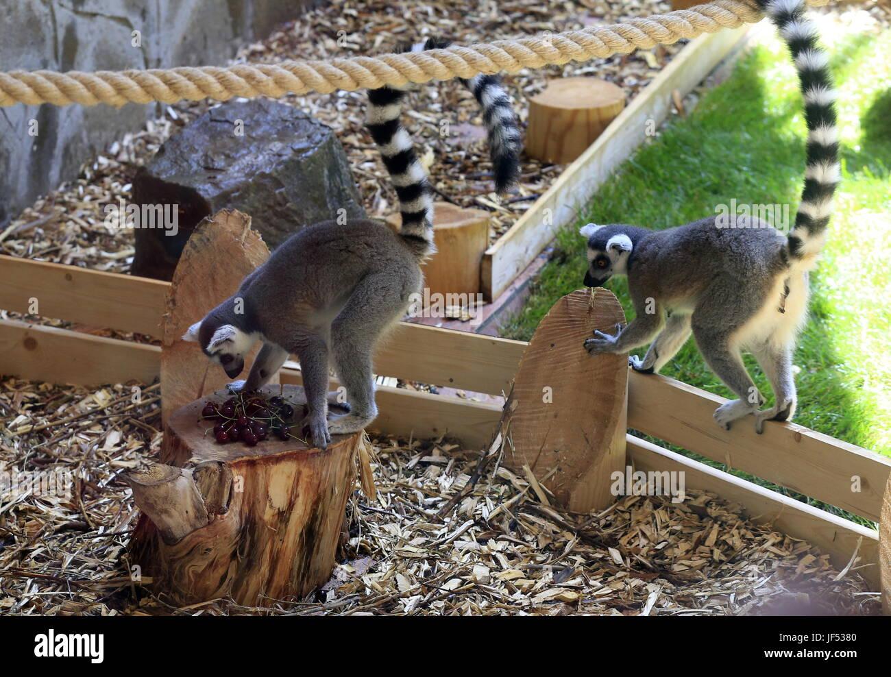 ROSTOV-ON-DON, RUSSIA – JUNE 28, 2017: Ring-tailed lemurs at the Rostov-on-Don Zoo. Valery Matytsin/TASS - Stock Image