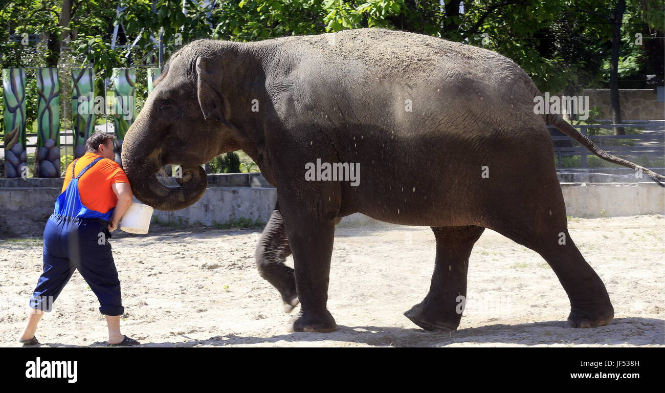 ROSTOV-ON-DON, RUSSIA – JUNE 28, 2017: An elephant at the Rostov-on-Don Zoo. Valery Matytsin/TASS - Stock Image