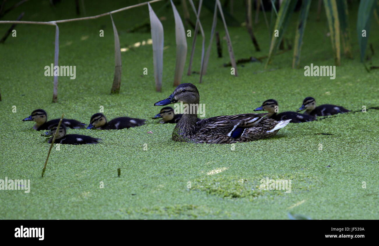 ROSTOV-ON-DON, RUSSIA – JUNE 28, 2017: A mallard with ducklings at the Rostov-on-Don Zoo. Valery Matytsin/TASS - Stock Image