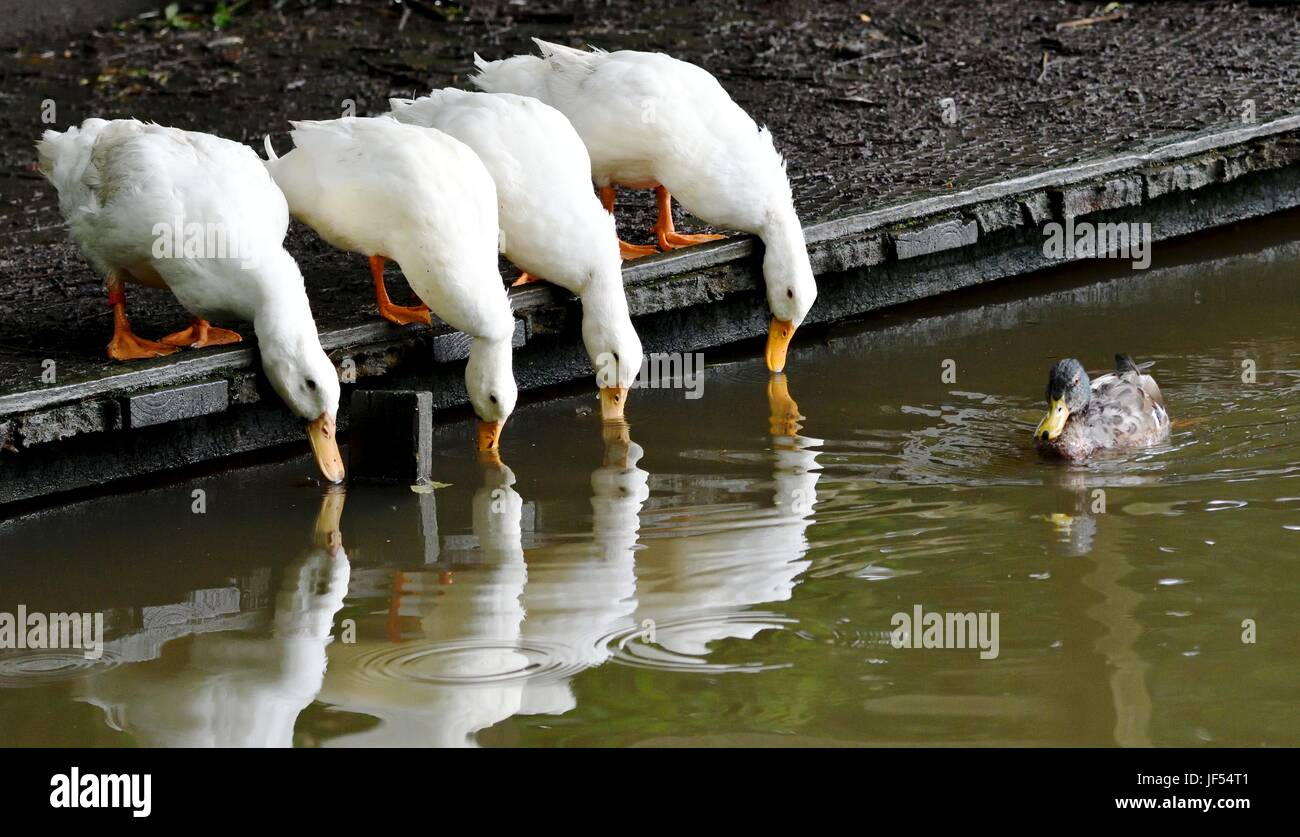 New Mills, High Peak, Derbyshire, UK. 29th June 2017. Four Peking Ducks have a drink from the pond at New Mills - Stock Image