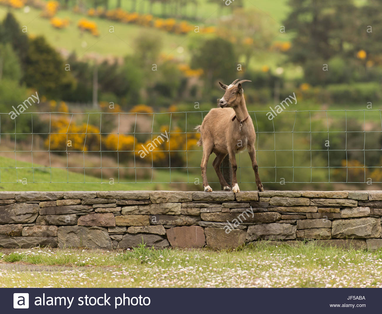 A goat stands on a stone wall next to a fence in County Kerry, Ireland. Stock Photo