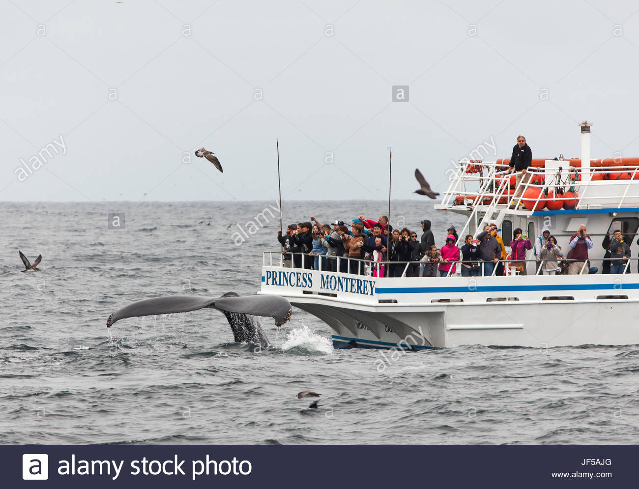 A humpback whale's, Megaptera novaeangliae, tail flukes right next to a whale-watching boat. - Stock Image
