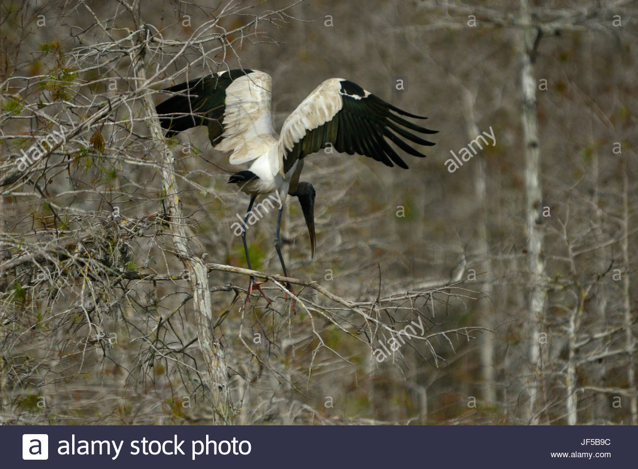 A wood stork with outstretched wings. - Stock Image