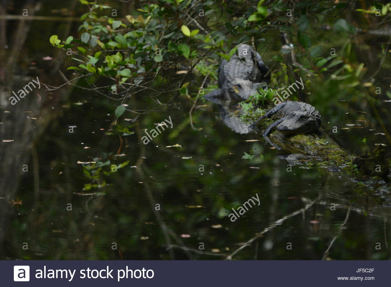 American alligators in wetland. - Stock Image