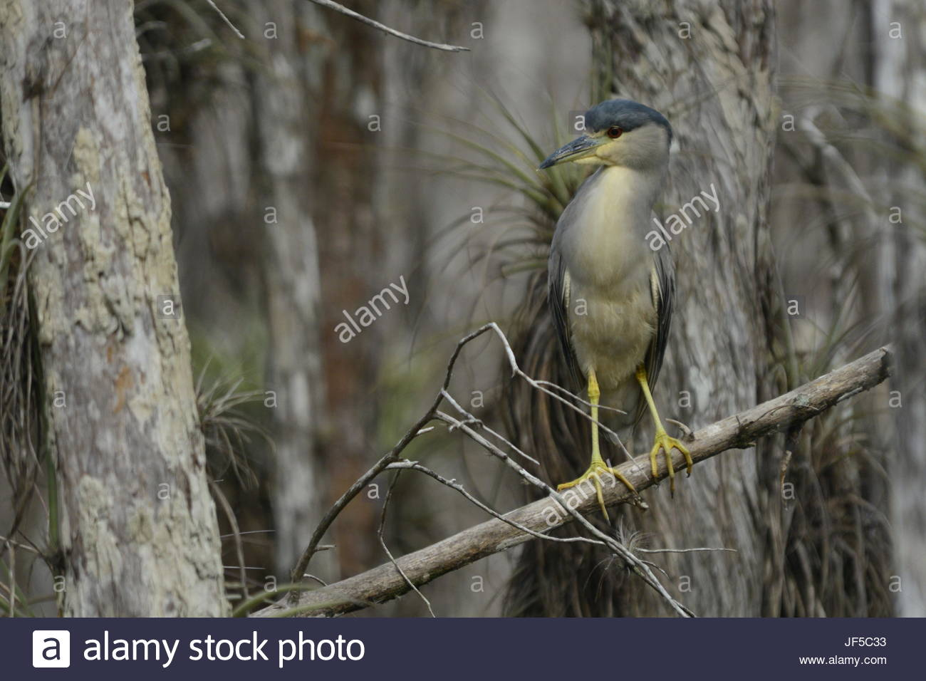 A black-crowned night heron perching on a tree branch. - Stock Image