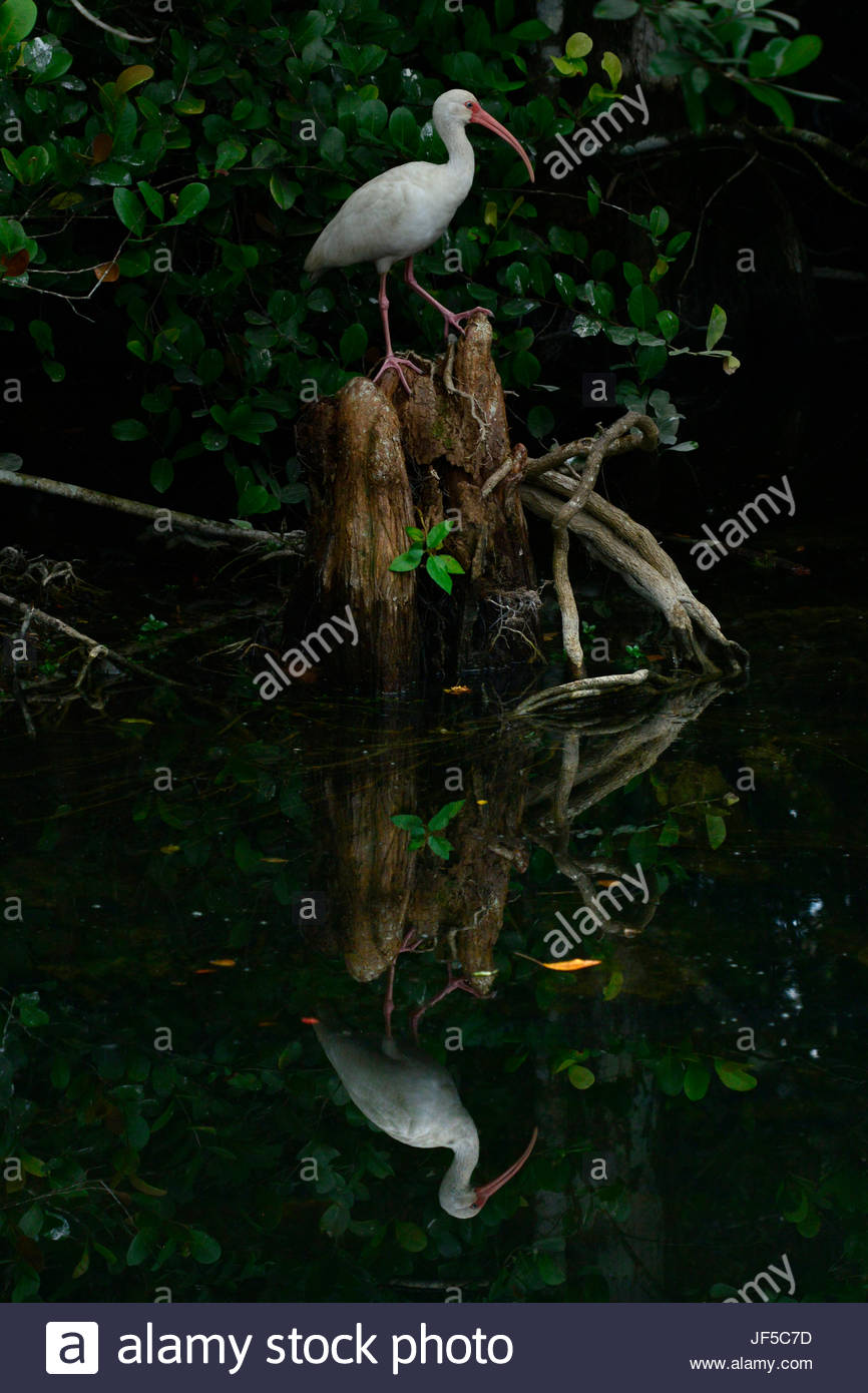 A standing white ibis reflected in water. - Stock Image