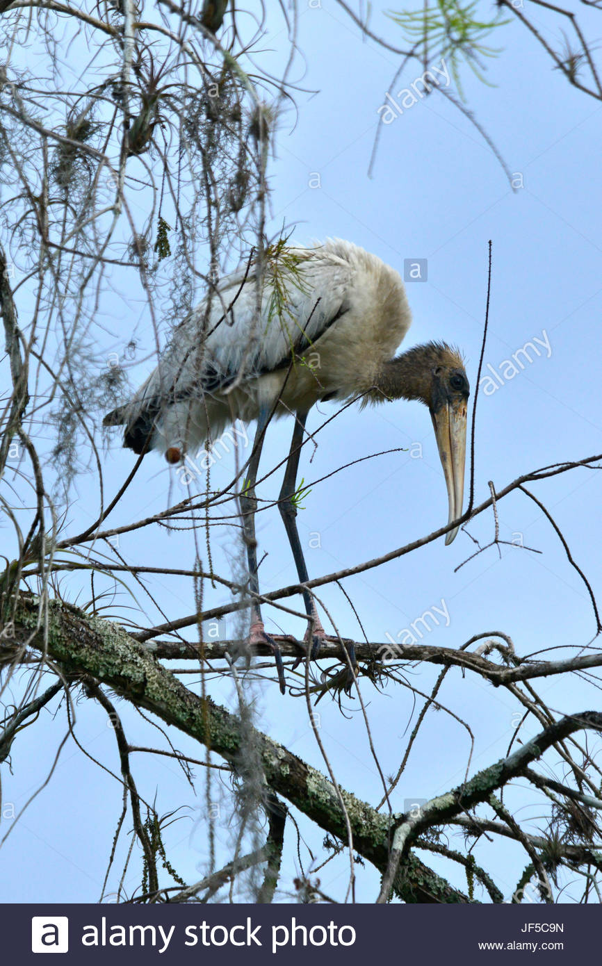 A wood stork perching on a branch. - Stock Image