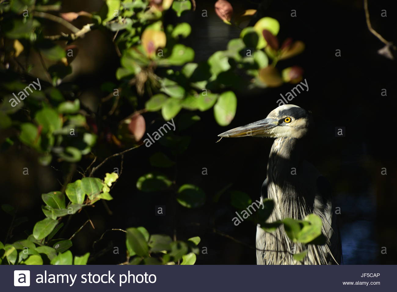 Portrait of a great blue heron in dappled sunlight. - Stock Image