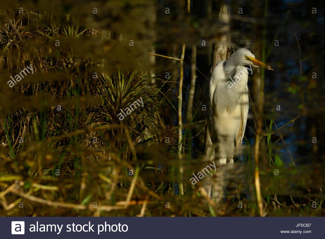 A standing white heron in dappled sunlight. - Stock Image