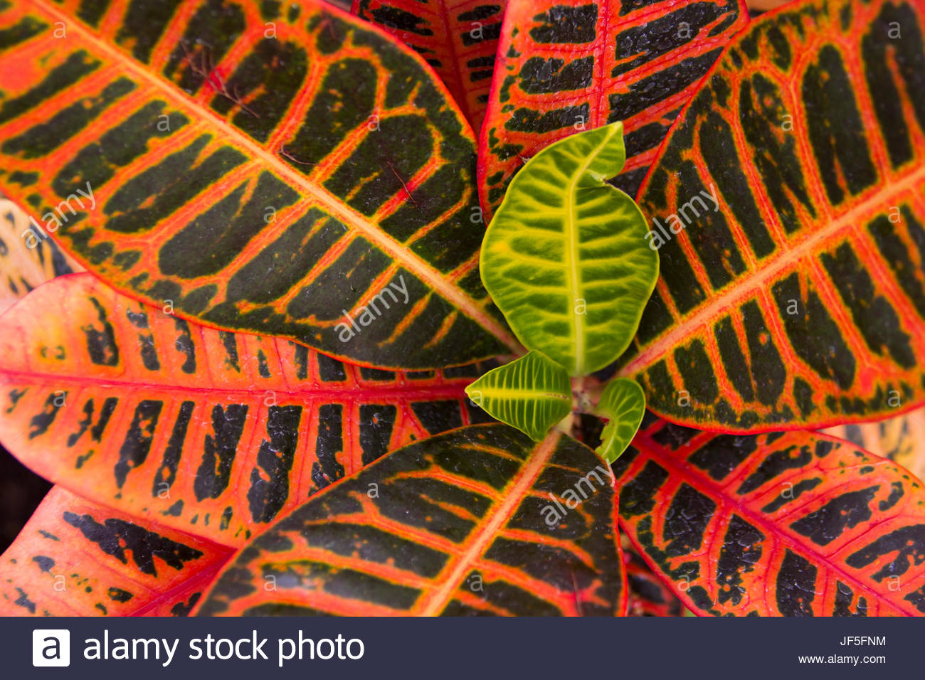 Striking natural patterns in Croton leaves. - Stock Image