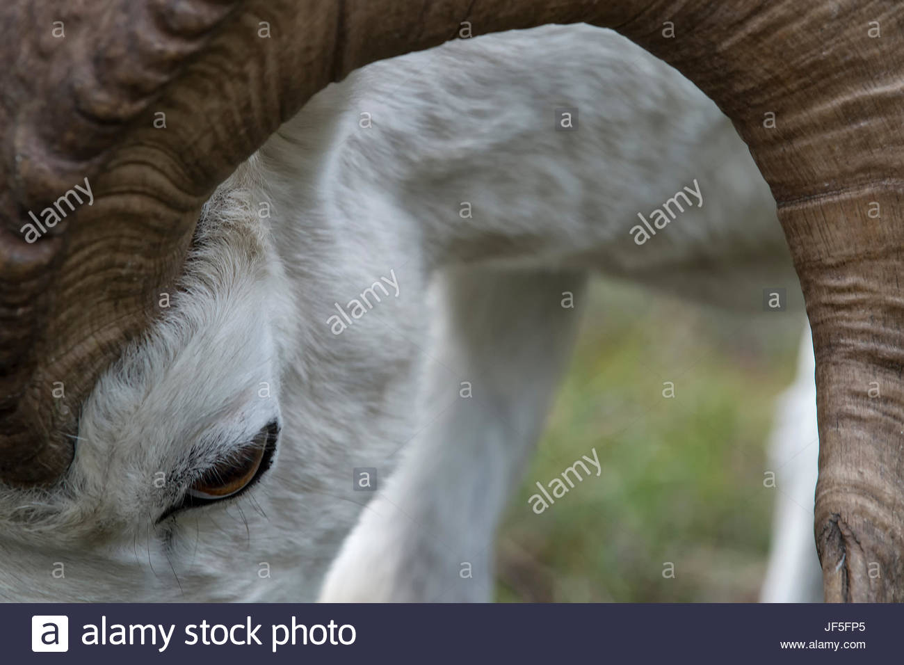 Close up of the head and antlers of a Dall's sheep, Ovis dalli. - Stock Image