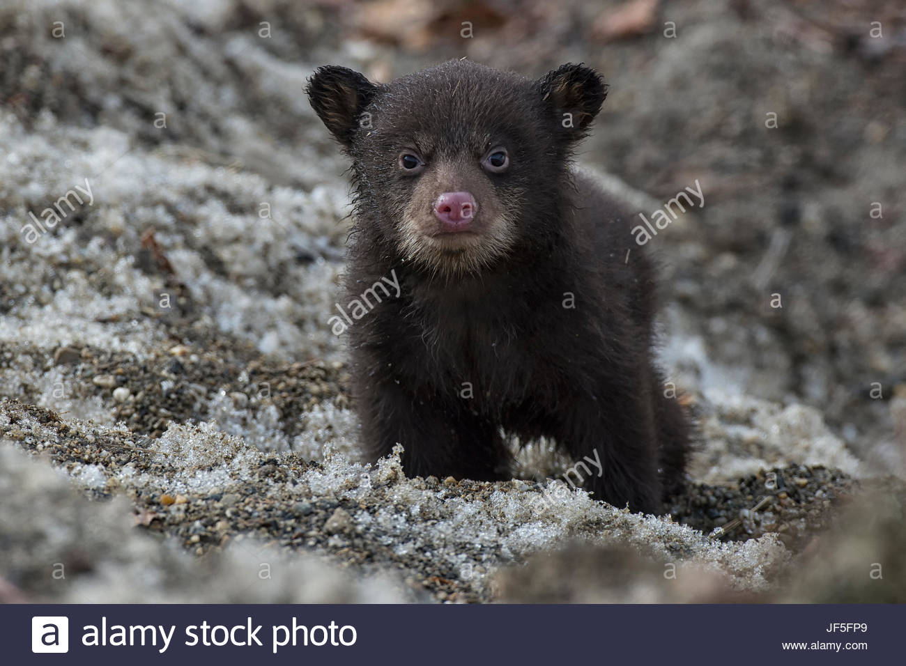 Portrait of a weeks-old black bear cub, out of its den for the first time. - Stock Image