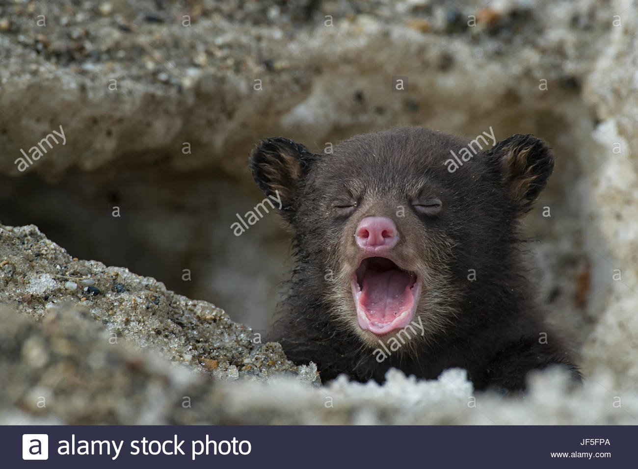 A weeks-old black bear cub crying as it comes out of its den for the first time. Stock Photo