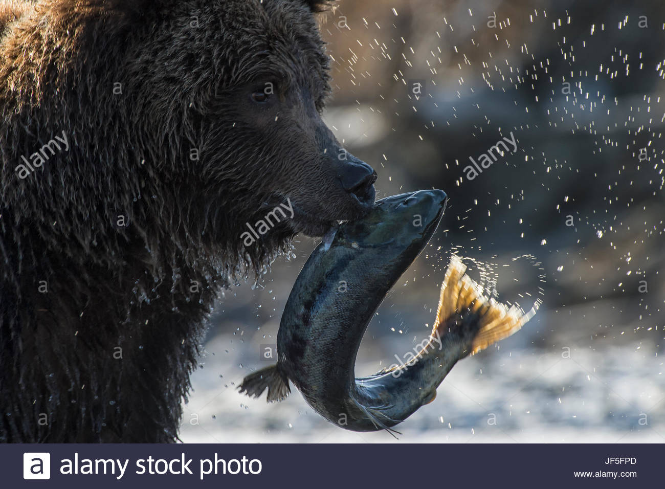A grizzly bear with a freshly caught salmon. - Stock Image