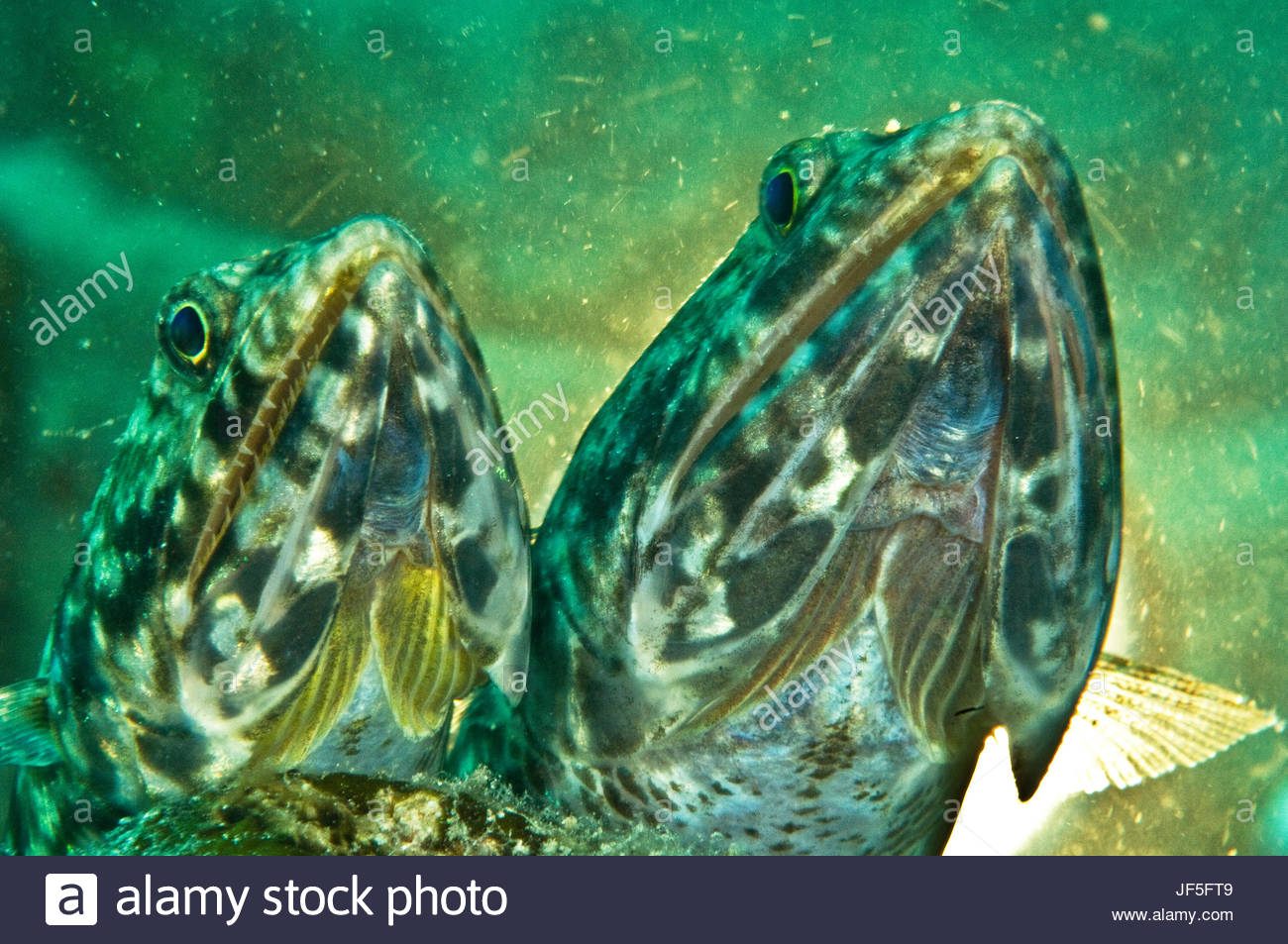 A pair of reef lizardfish lay motionless on a Mabul Island reef. - Stock Image