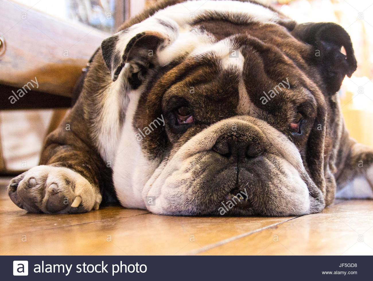 A bulldog hides his sunny disposition well. - Stock Image