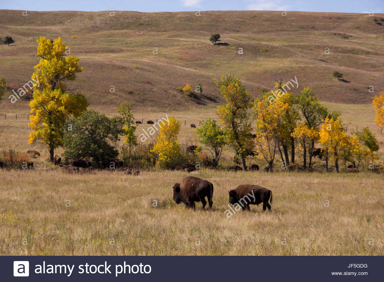 American bison grazing across rolling hills in autumn. - Stock Image