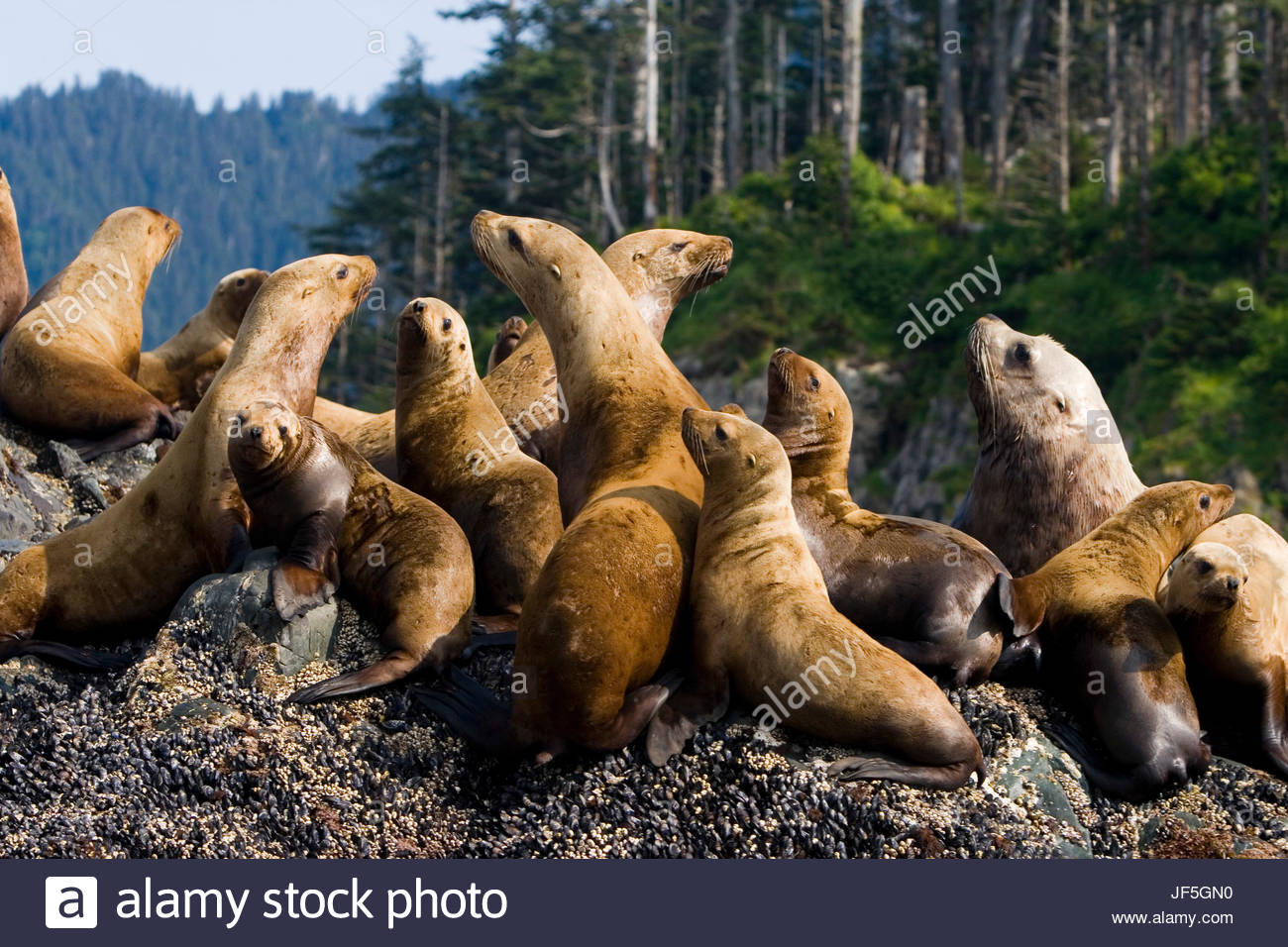 A group of Steller sea lion, Eumetopias jubatus, resting on a rock. - Stock Image