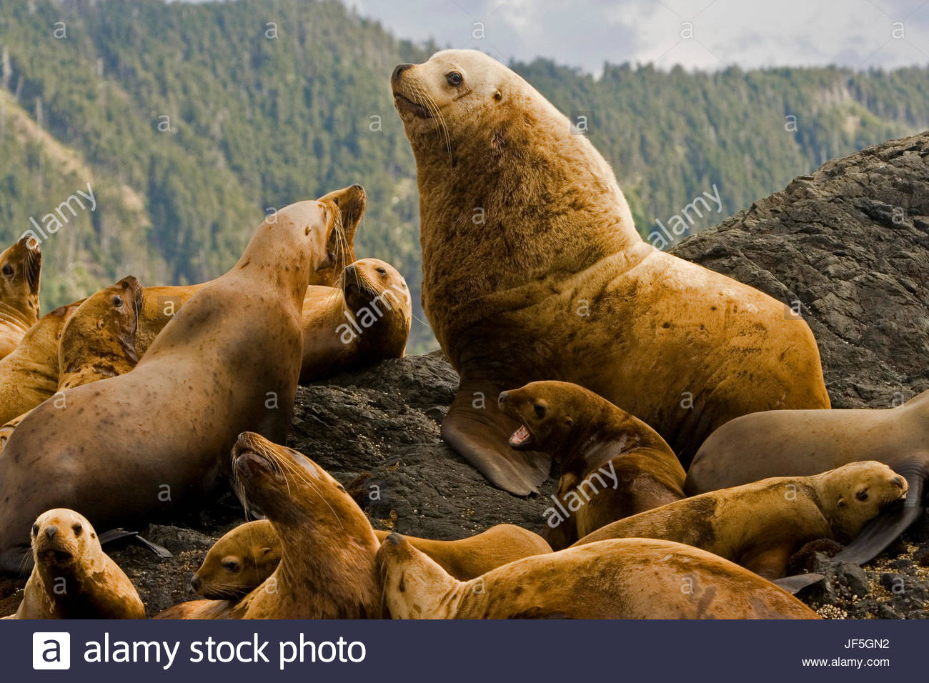 A dominant bull Steller sea lion, Eumetopias jubatus, on rock with females and juveniles. - Stock Image