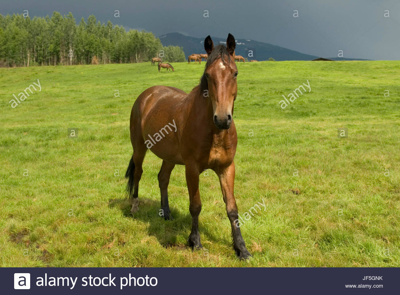 Horses in a pasture. - Stock Image