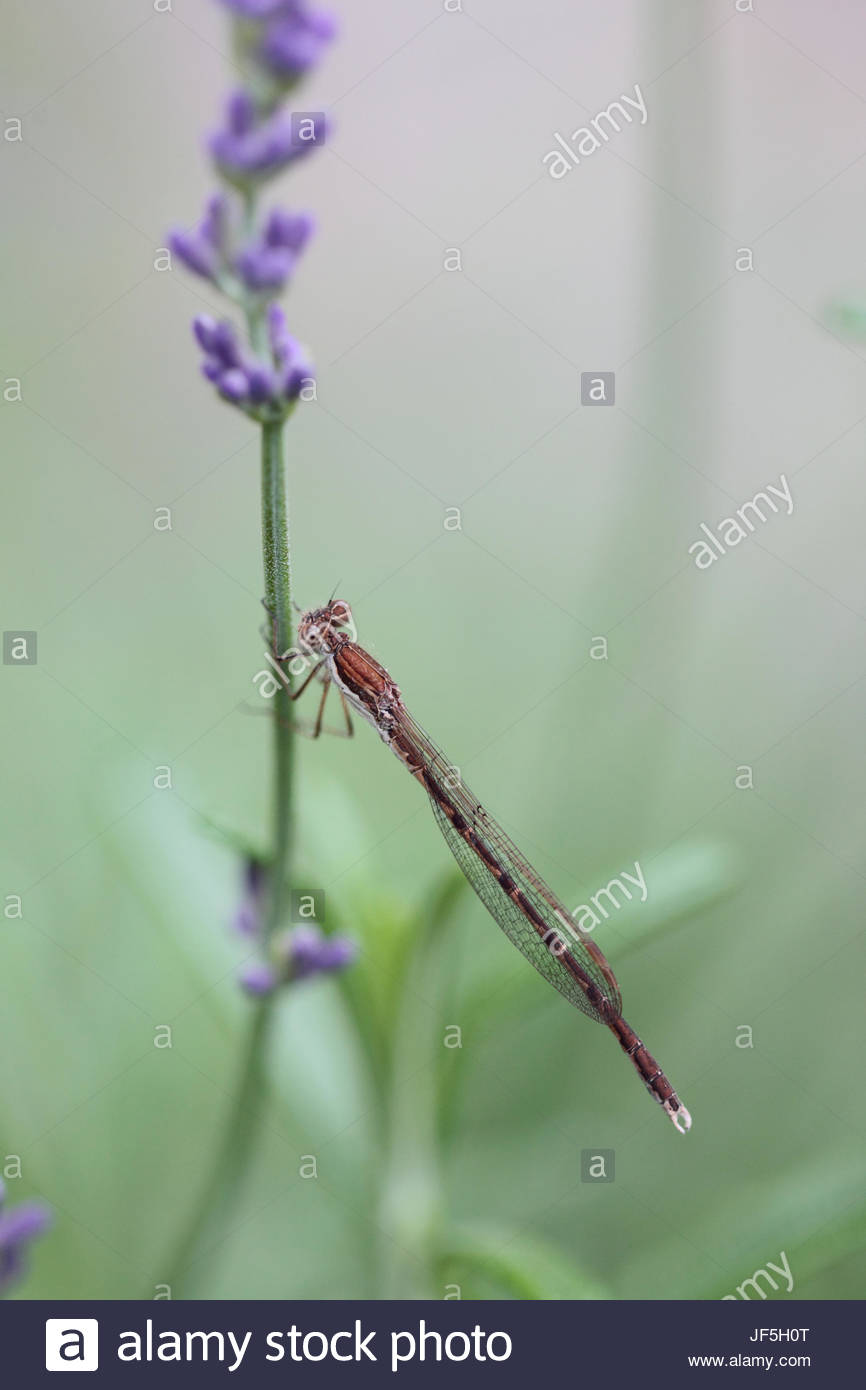 A common winter damselfly, Sympecma fusca, is found in much of central and southern Europe, on a lavender flower - Stock Image