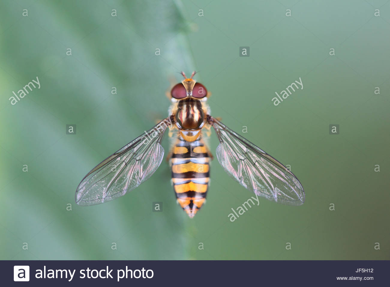 Portrait of a hoverfly, sometimes called flower flies or syrphid flies, they make up the insect family Syrphidae. - Stock Image