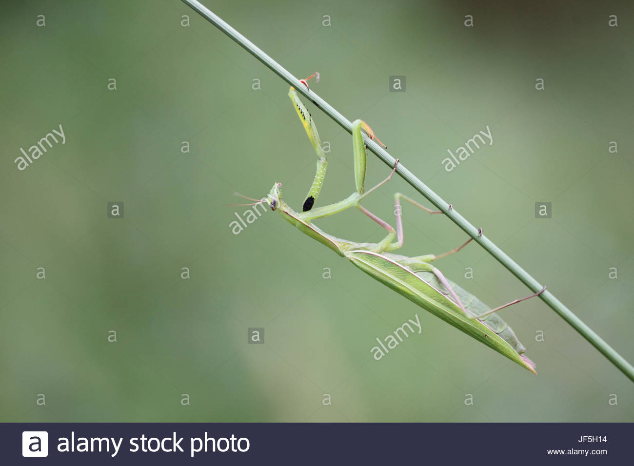Portrait of a praying mantis, Mantis religiosa, on a foxtail stem, Setaria species. - Stock Image