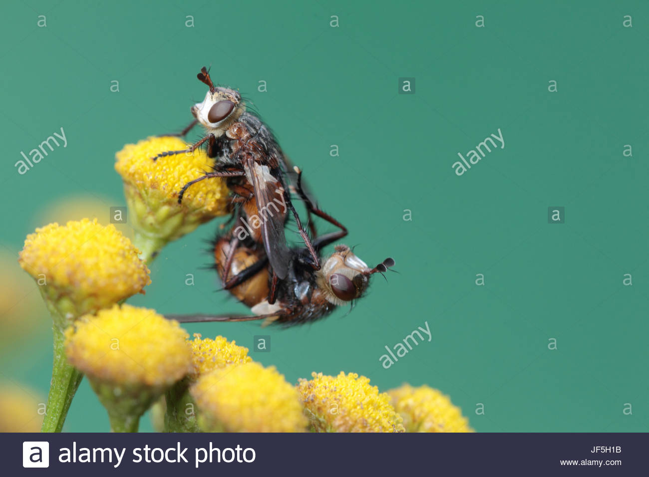 Two flies mating on a tansy flower, Tanacetum vulgare. - Stock Image