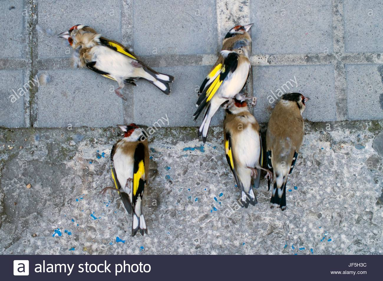 Dead birds on asphalt, killed by an unknown cause. - Stock Image