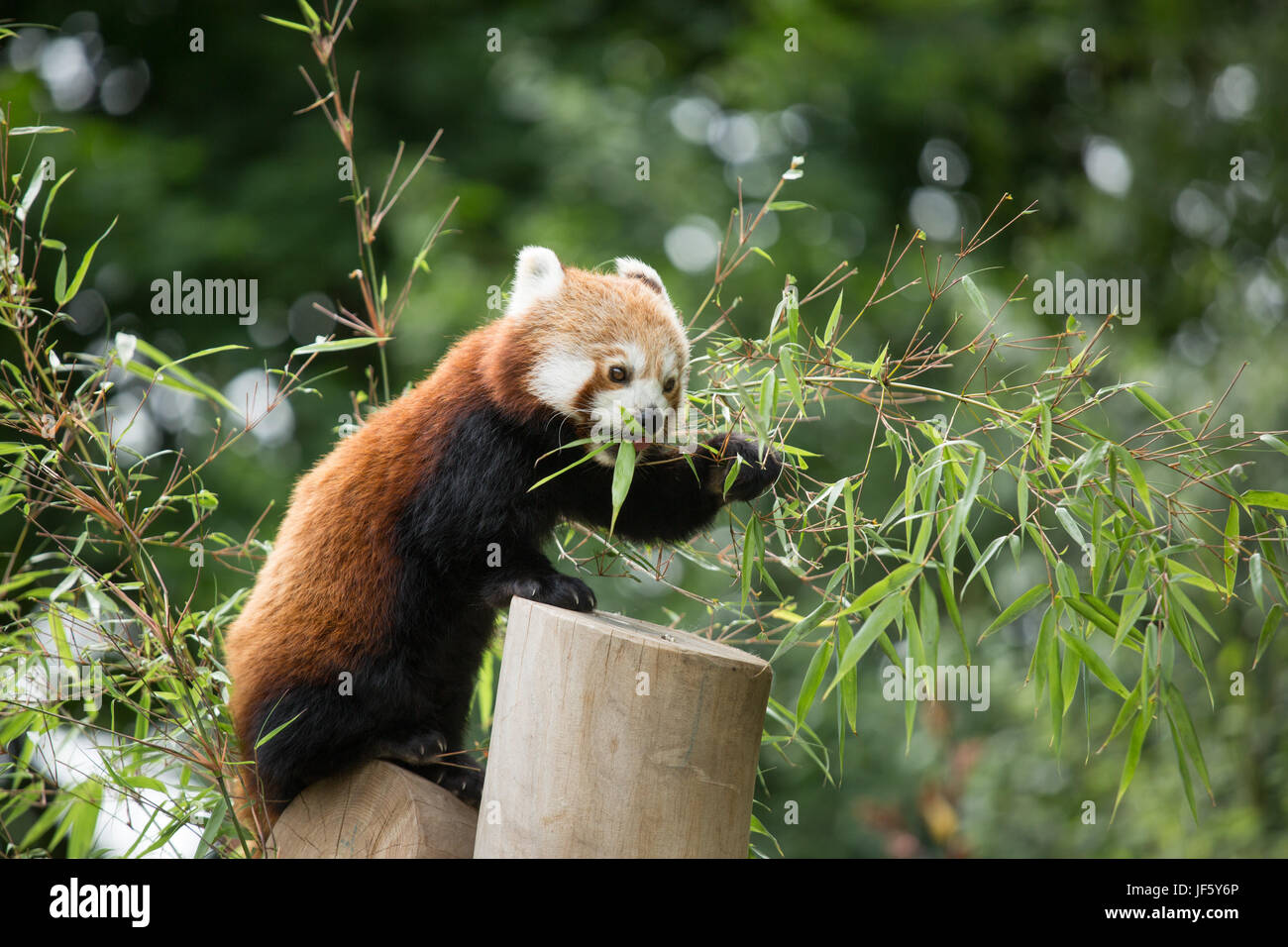A Red Panda at Birmingham Nature Centre. Birmingham host the IAAF Championships in 2018 and named their Mascot Ruby, Stock Photo
