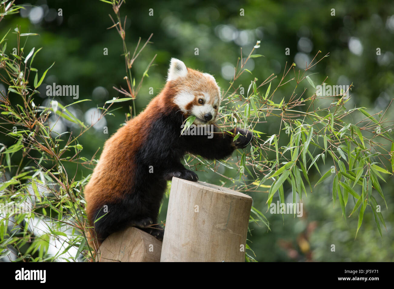 A Red Panda at Birmingham Nature Centre. Birmingham host the IAAF Championships in 2018 and named their Mascot Ruby, - Stock Image