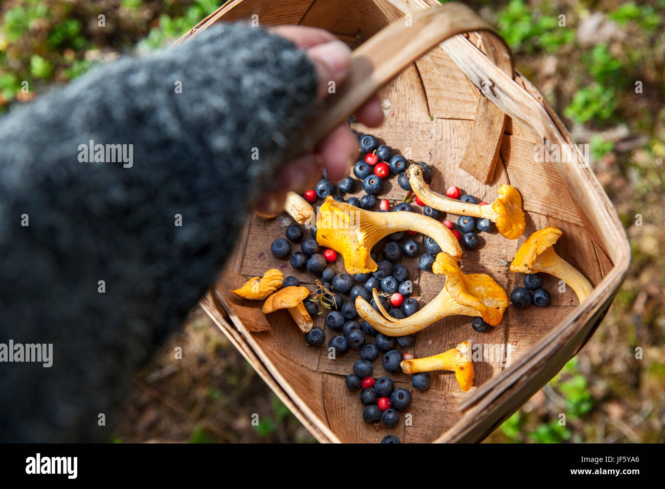 Child hand holding basket with berries and chanterelles - Stock Image