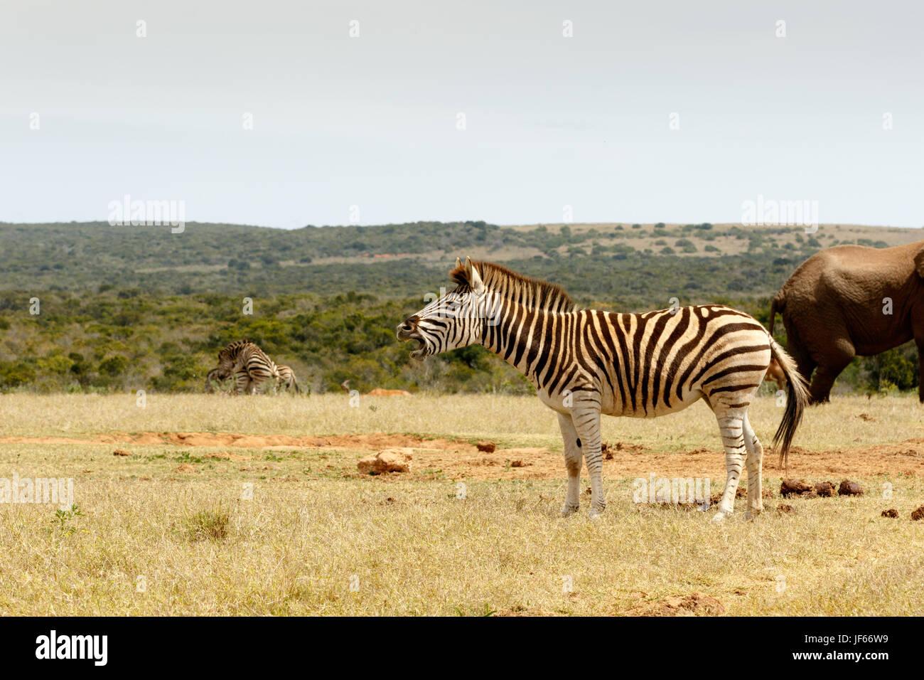 Burchell's Zebra standing and choking - Stock Image