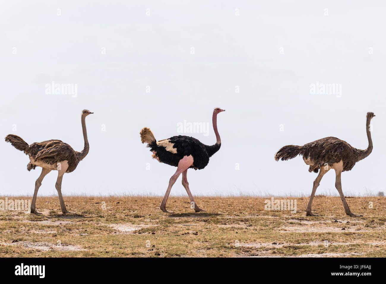 Ostriches in Kitirua Conservancy, near Amboseli Park, Kenya. - Stock Image