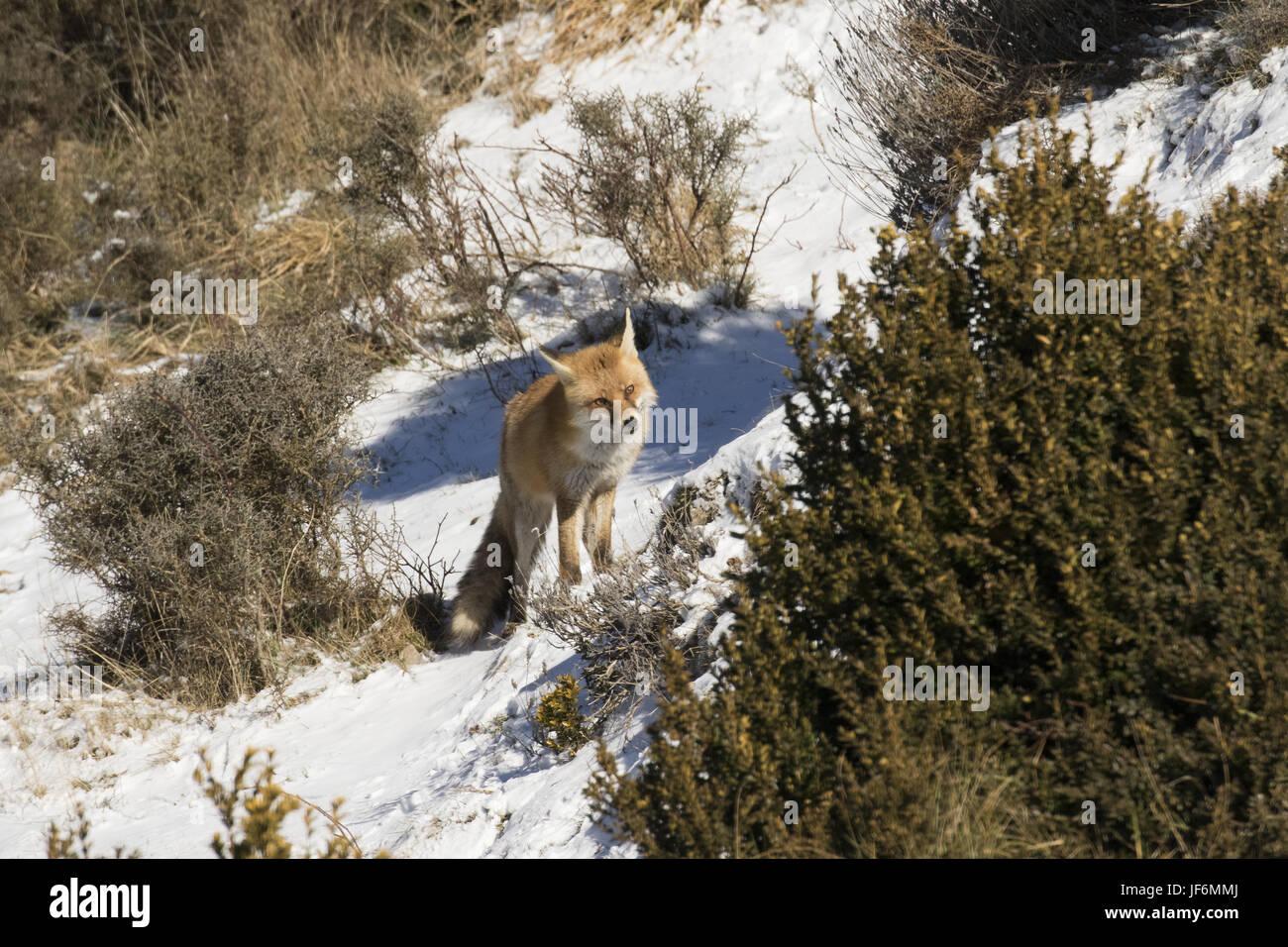 lurking fox - Stock Image