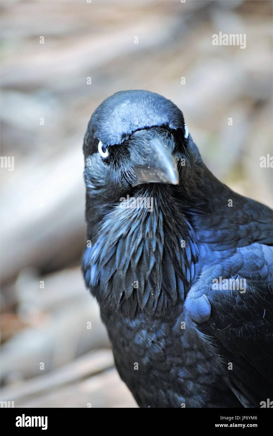 bright-eyed raven - Stock Image