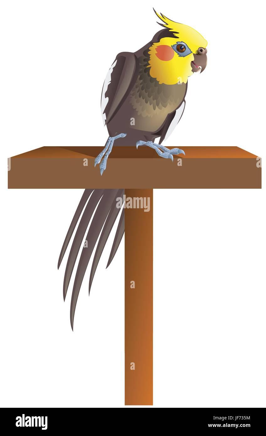 male, masculine, grey, gray, cockatiel, pet, bird, male, masculine, parrot, - Stock Vector