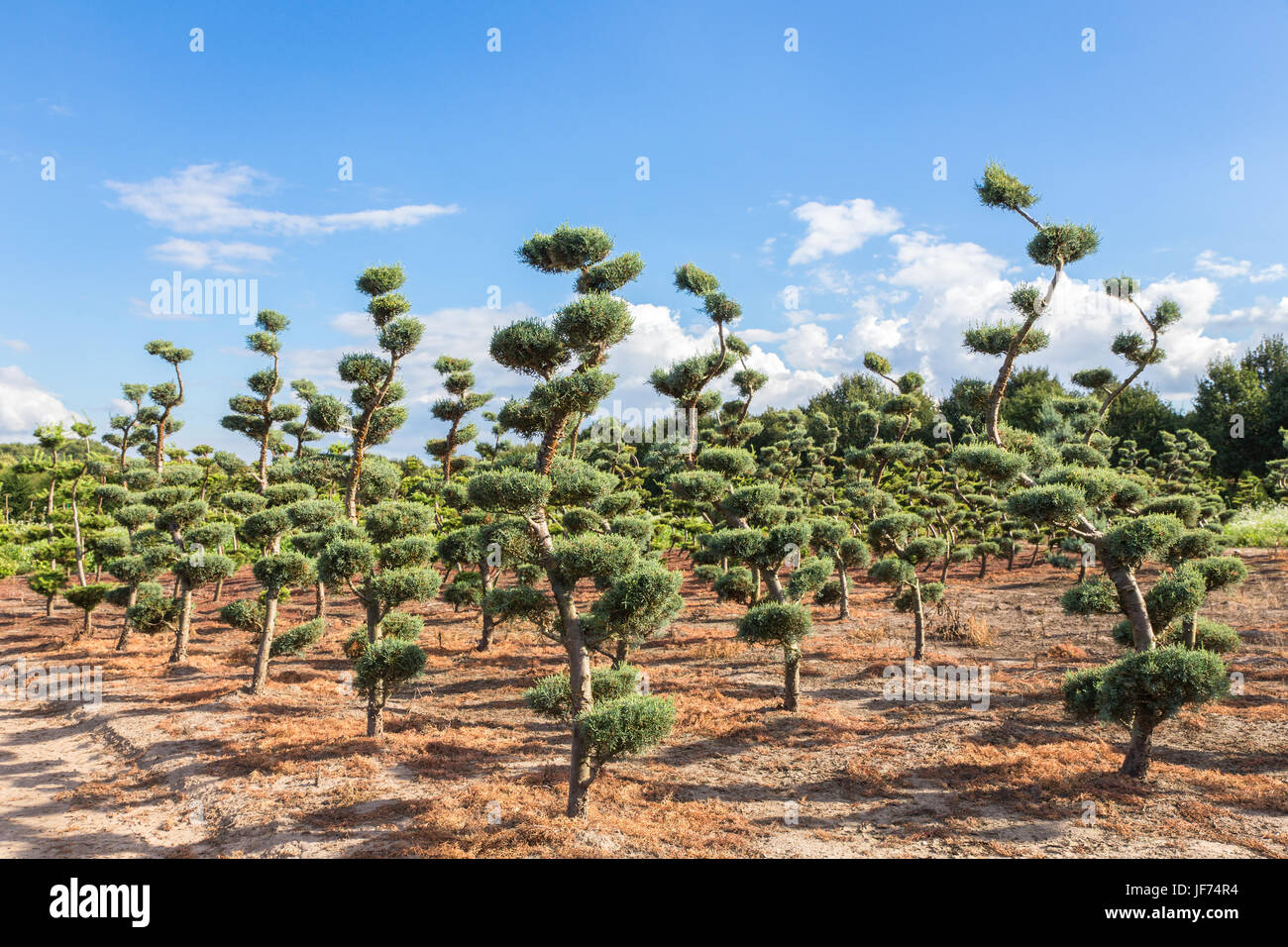 Beautiful topiary shapes in conifers - Stock Image