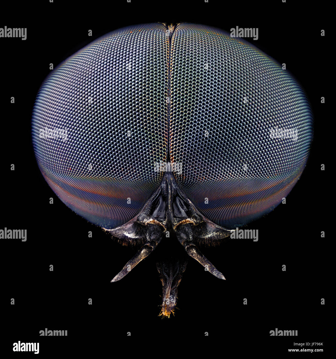 Full frontal portrait of a black horse fly magnified through a microscope objective - Stock Image
