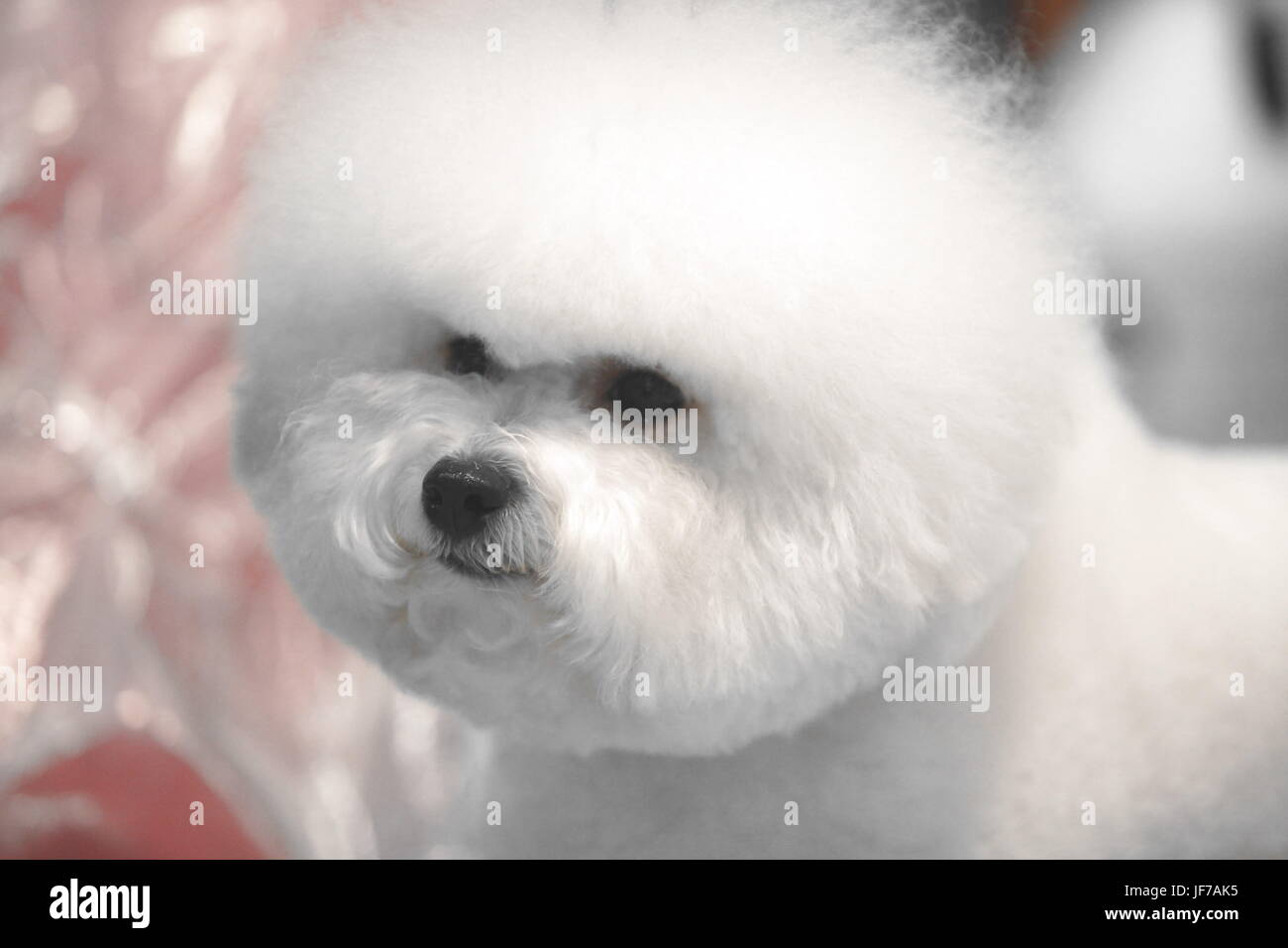 little white Bichon Frise sits and stares into the camera - Stock Image