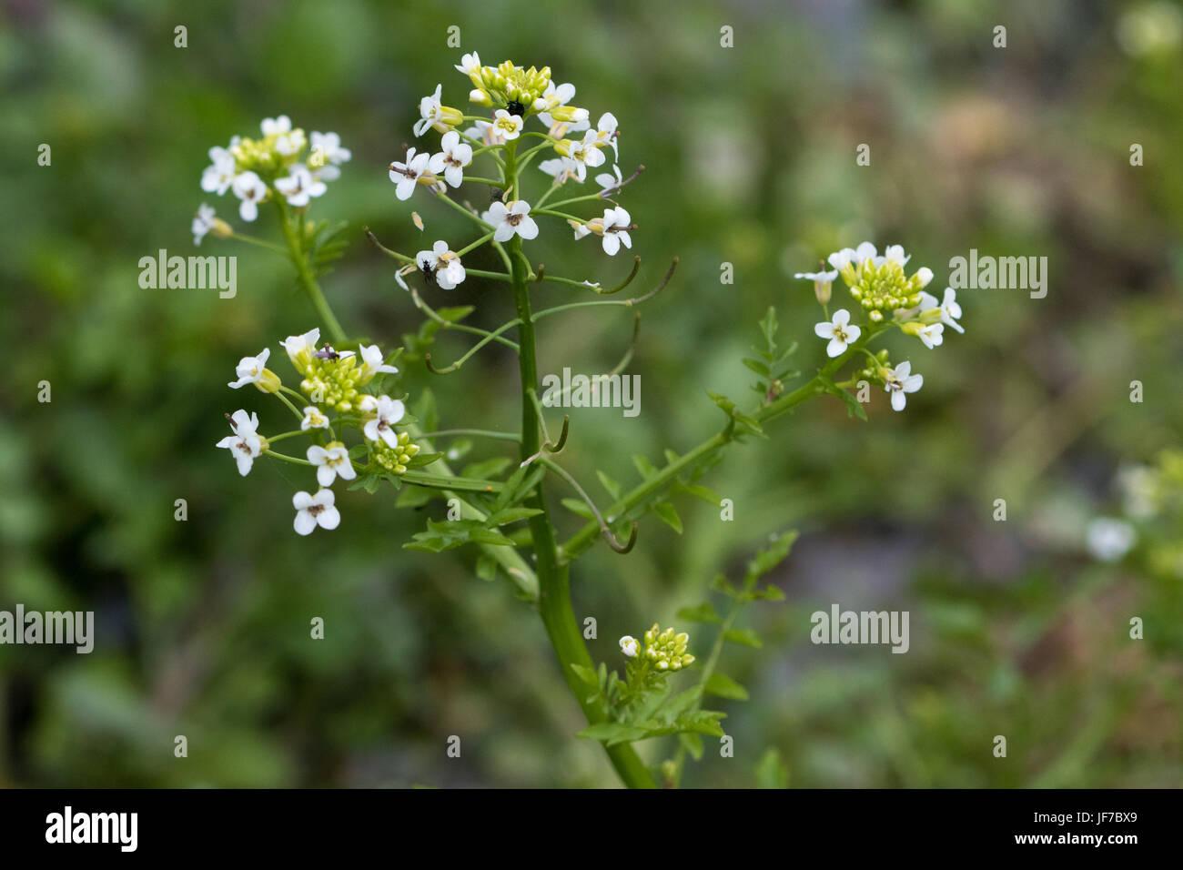 Water-cress (Rorippa nasturtium-aquaticum) flowers Stock Photo