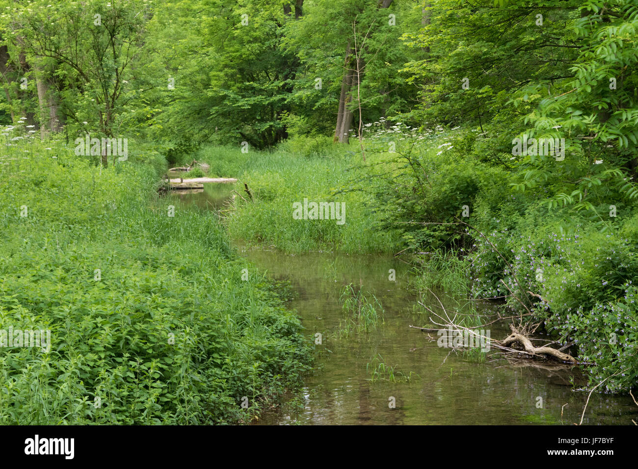 lush early summer vegetation bordering the River Lathkill in the Peak District National Park, UK - Stock Image