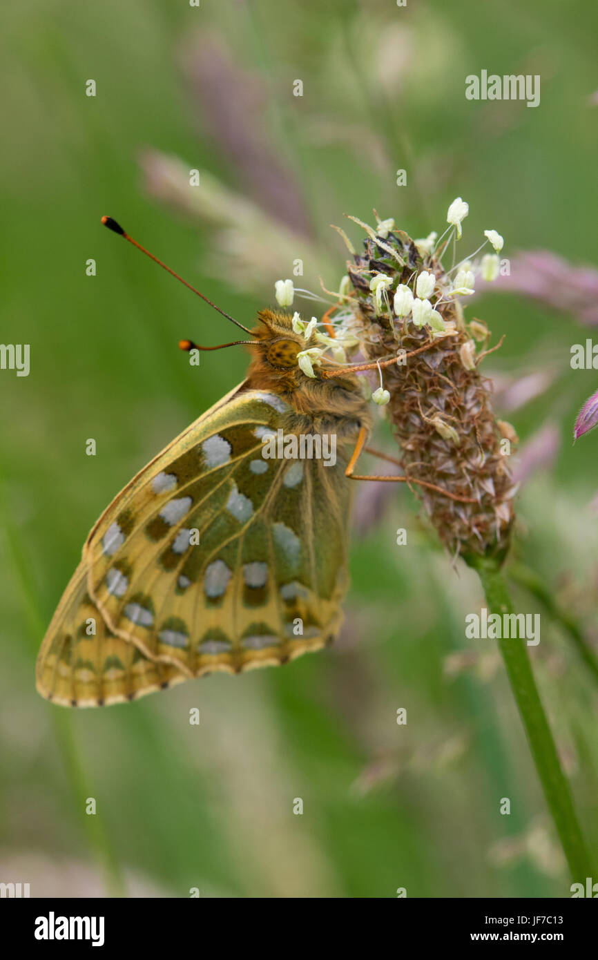 Dark Green Fritillary (Argynnis aglaja) butterfly resting on a Ribwort Plantain flower - Stock Image