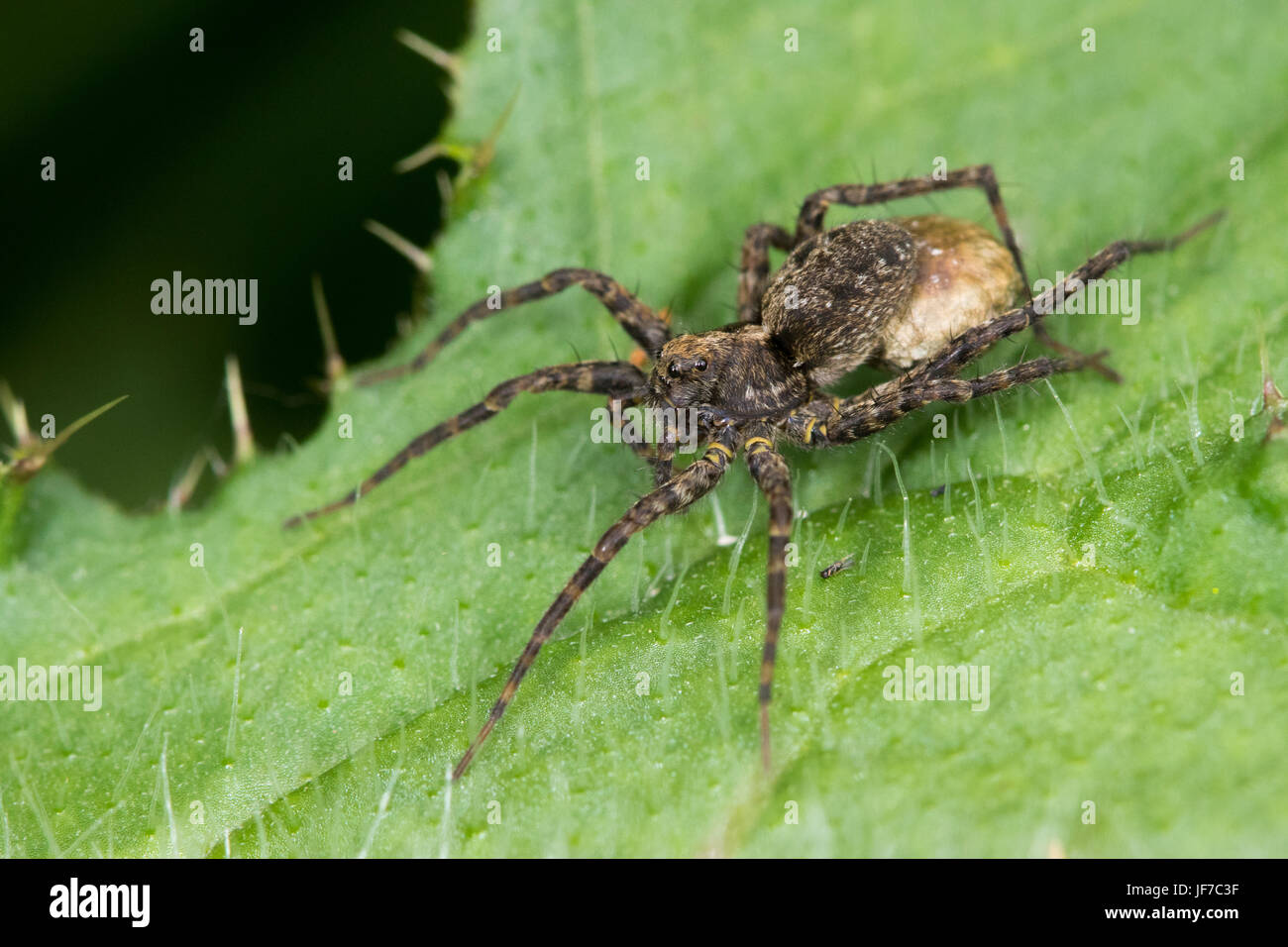 female Narrow-legged Wolf Spider (either Pardosa monticola or P. palustris) carrying an eggsac - Stock Image