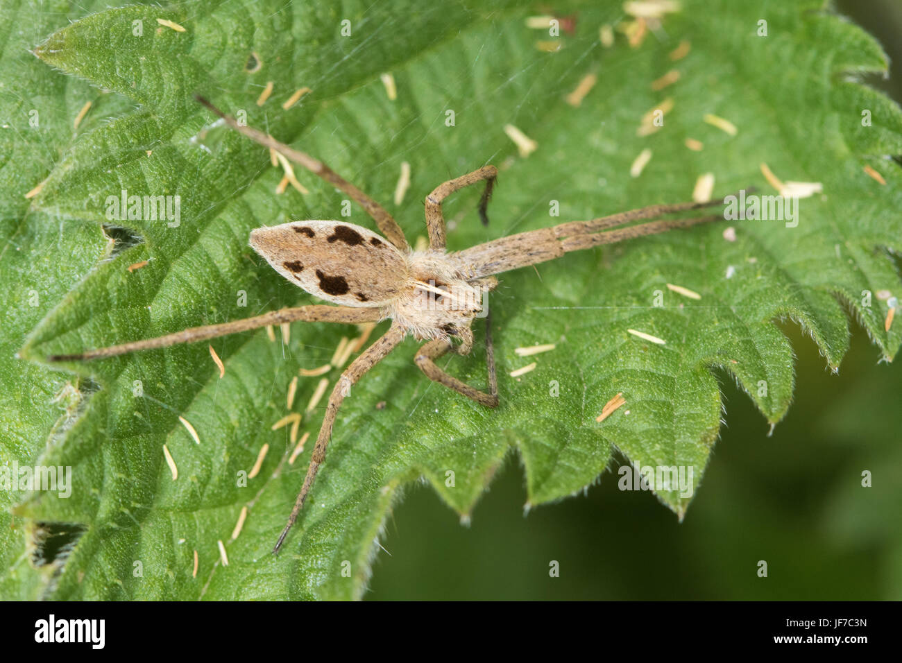 Nursery-web Spider (Pisaura mirabilis) on a Stinging Nettle leaf - Stock Image