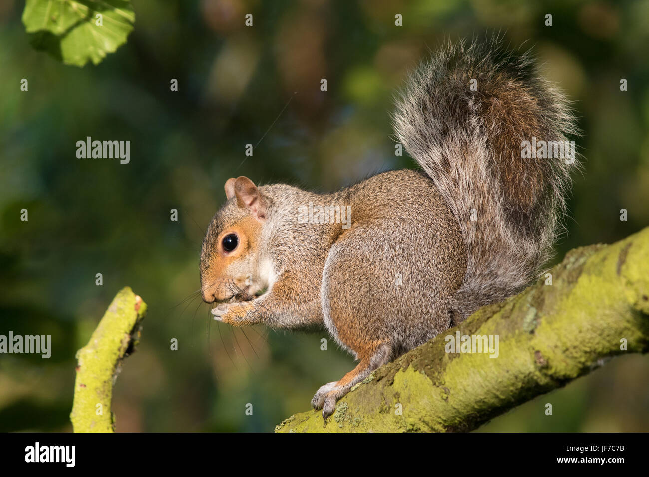 Eastern Grey Squirrel (Sciurus carolinensis) eating a seed while sitting on a branch - Stock Image