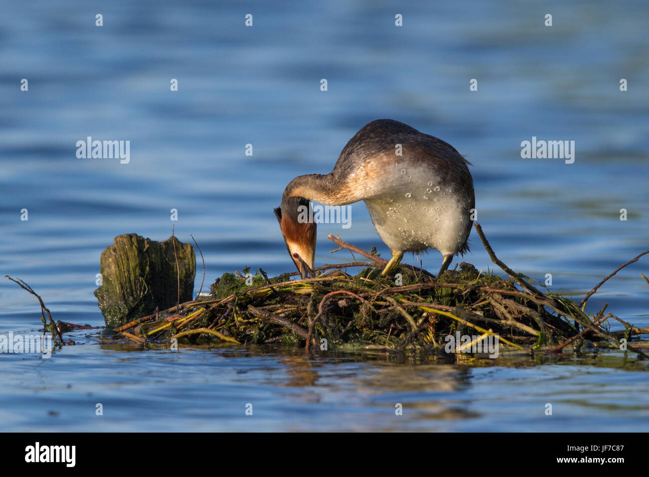 Great Crested Grebe (Podiceps cristatus) building its nest - Stock Image