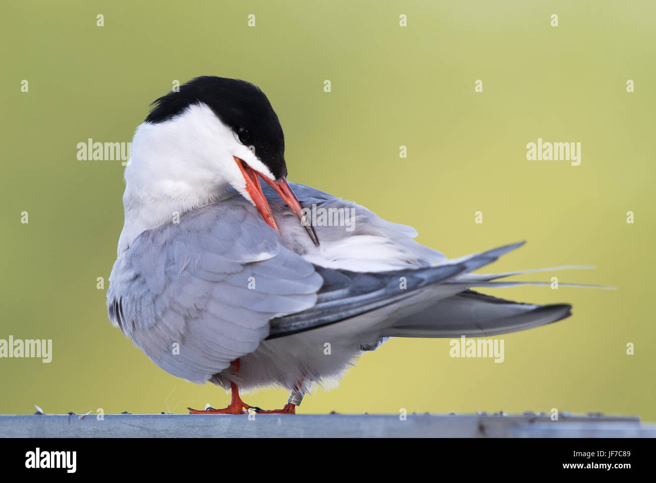 Common Tern (Sterna hirundo) preening while perched on a fence - Stock Image