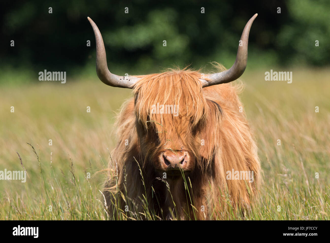 headshot of a Highland Cow (Bos taurus) - Stock Image